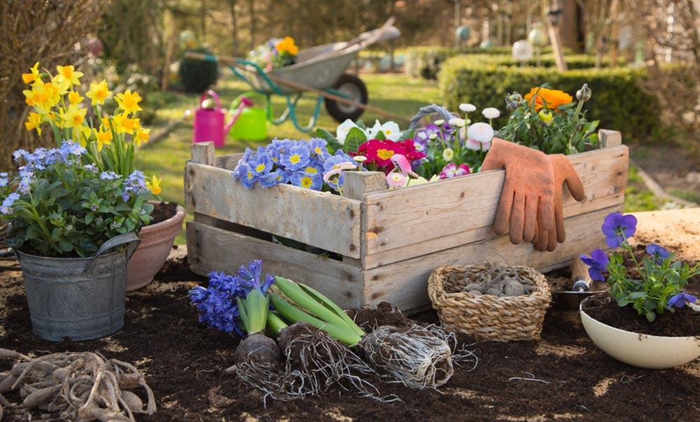 玫瑰的养殖方法和注意事项图片