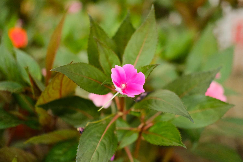 粉色凤仙花