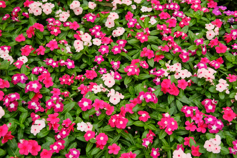 长春花图片欣赏