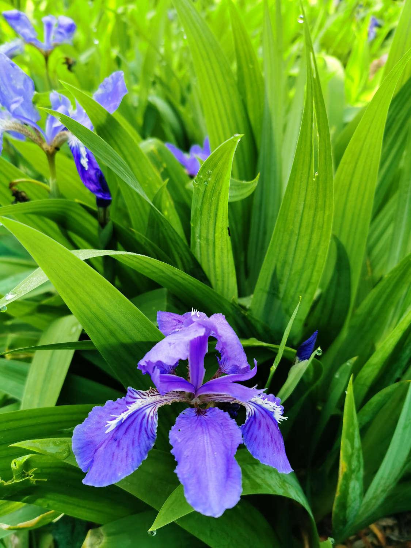 爱的使者——紫色鸢尾