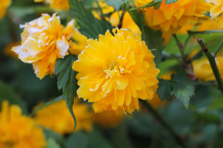 高贵棣棠花