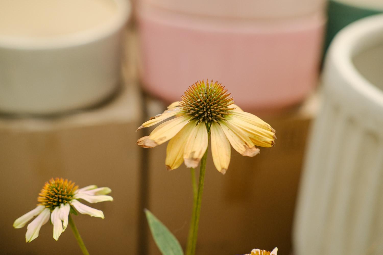 白花的松果菊