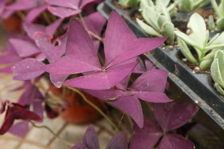 神奇的紫叶酢浆草