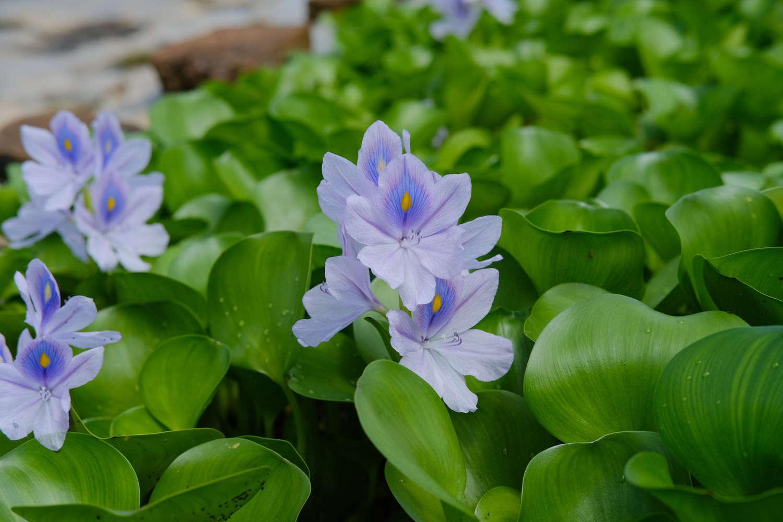 美化世界的淡紫色花冠——凤眼蓝