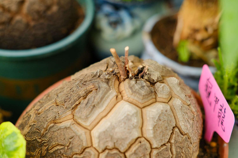 小清新的龟甲龙