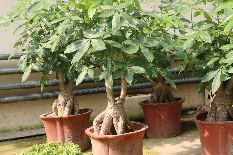 发财树冬天树干皱图片