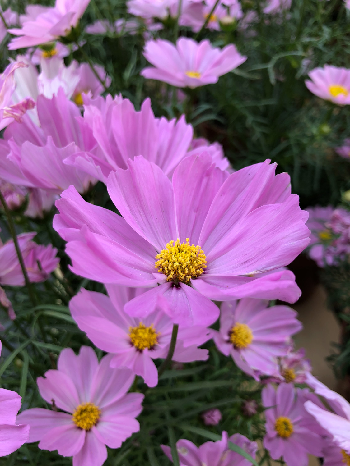 Persian chrysanthemum form