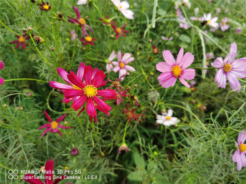 花中仙子——波斯菊