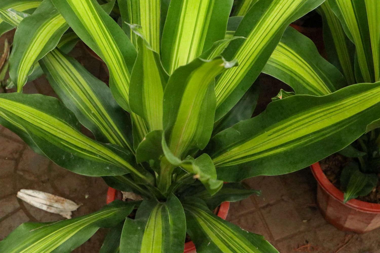 巴西铁小盆栽