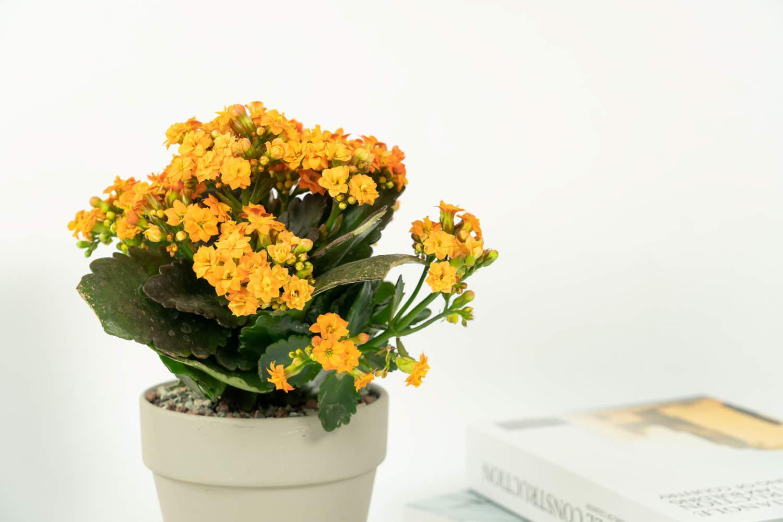 四片花瓣的长寿花
