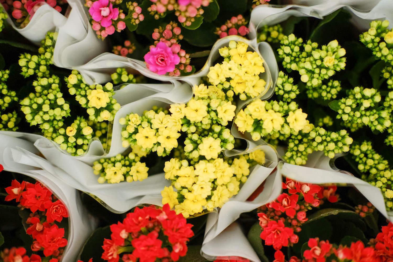 长寿花盆景图片