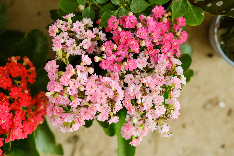 长寿花盆景美图