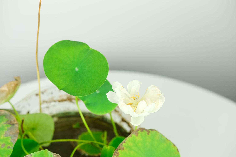 碗中的奇迹——碗莲