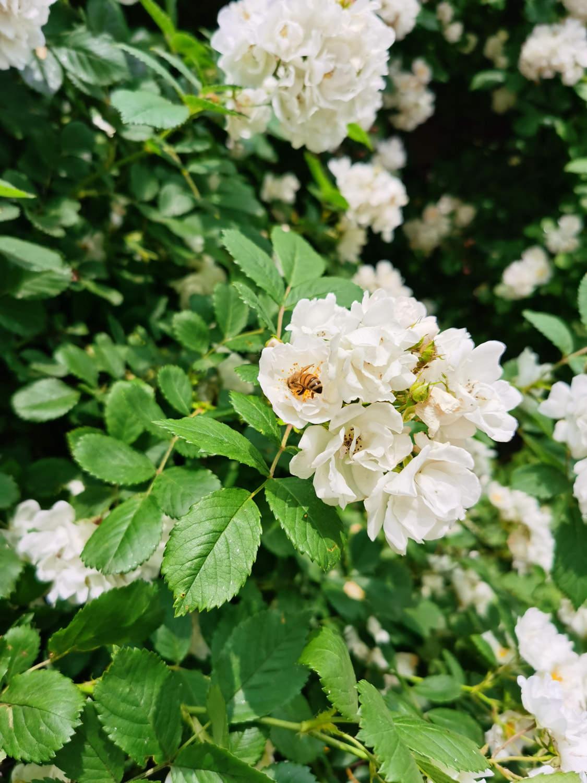 蔷薇花开初夏