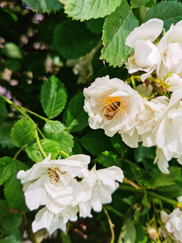 白蔷薇美图欣赏