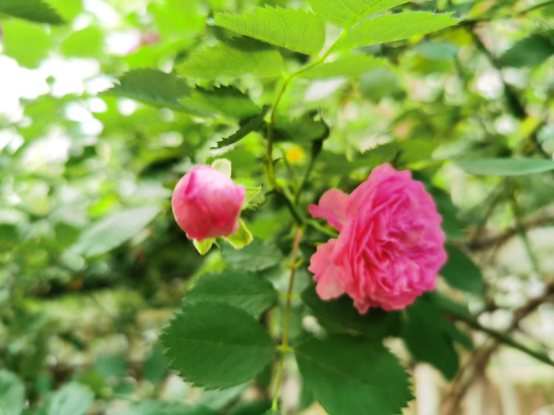 粉色蔷薇花