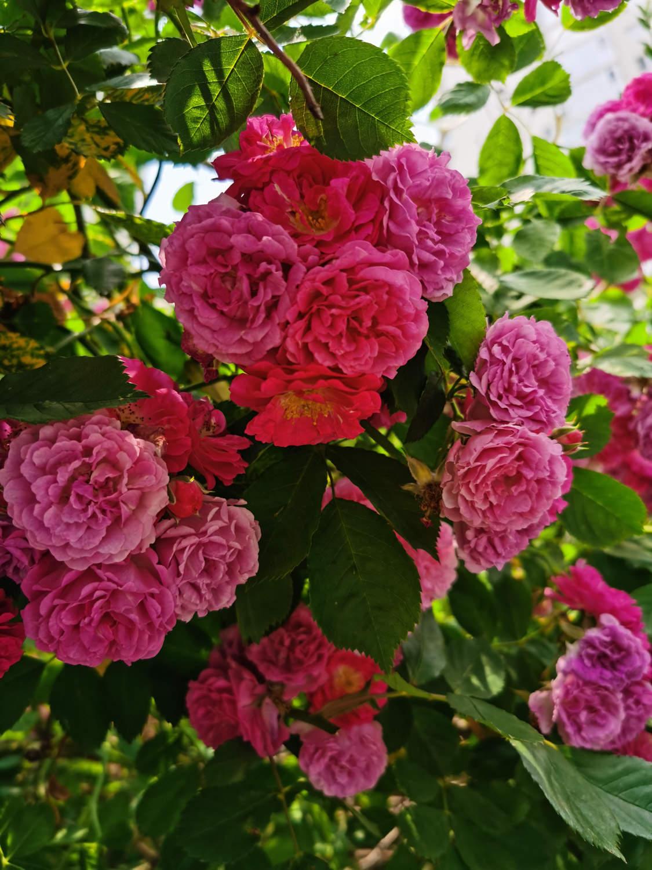 送你一朵蔷薇花
