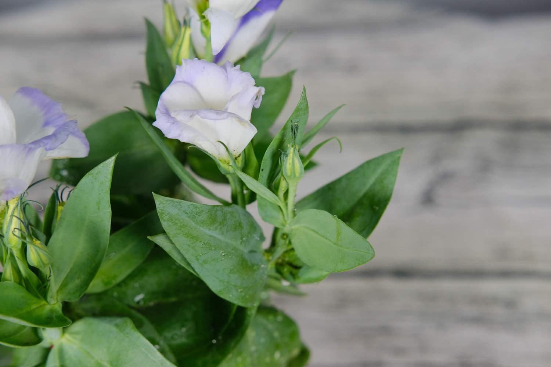 白紫相间洋桔梗