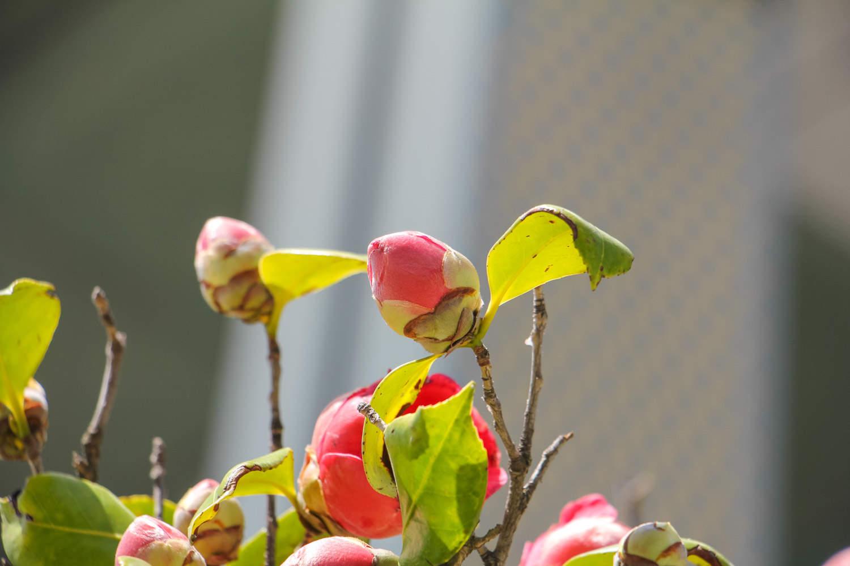 茶花盆景美图