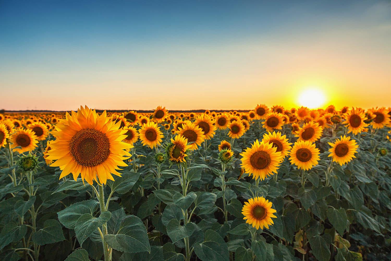 种子怎么用_向日葵种子怎么种 - 花百科