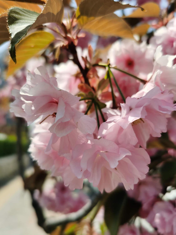 花团锦簇的樱花