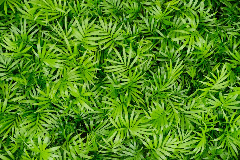 袖珍椰子的叶片