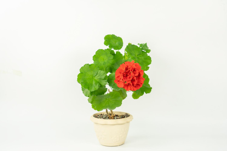 怒放的天竺葵