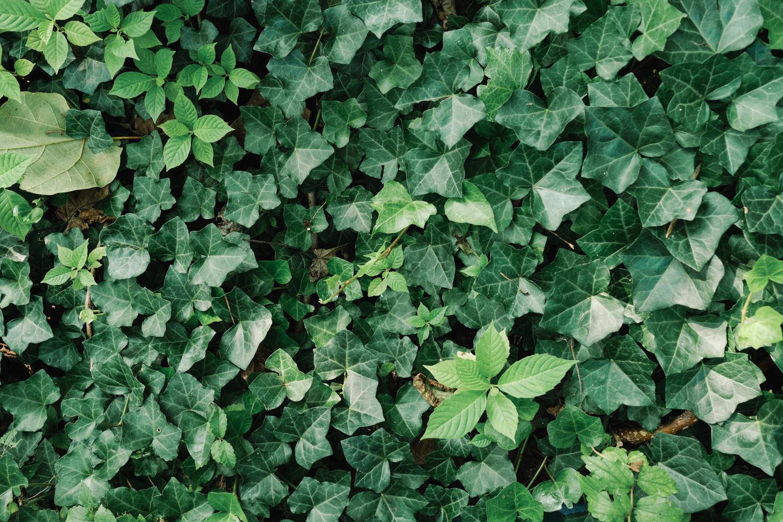 常春藤盆景图片
