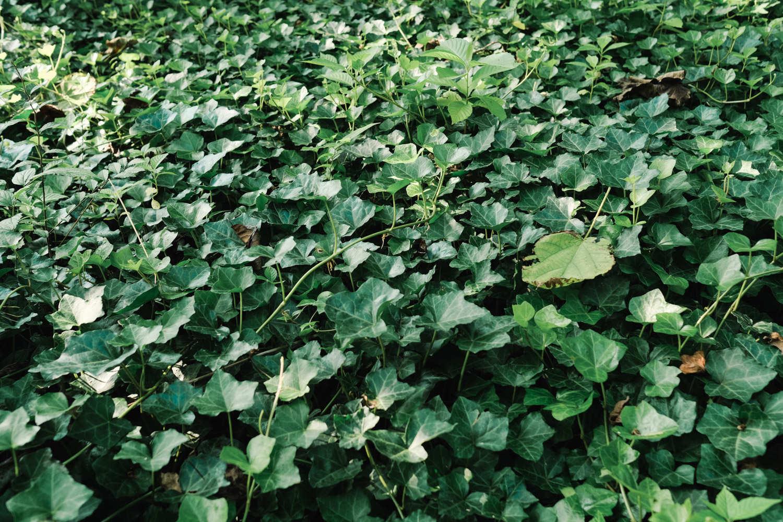 常春藤盆景的美图