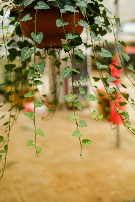 常春藤下的约定——常春藤盆景