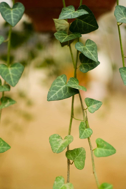 常春藤盆景的图片