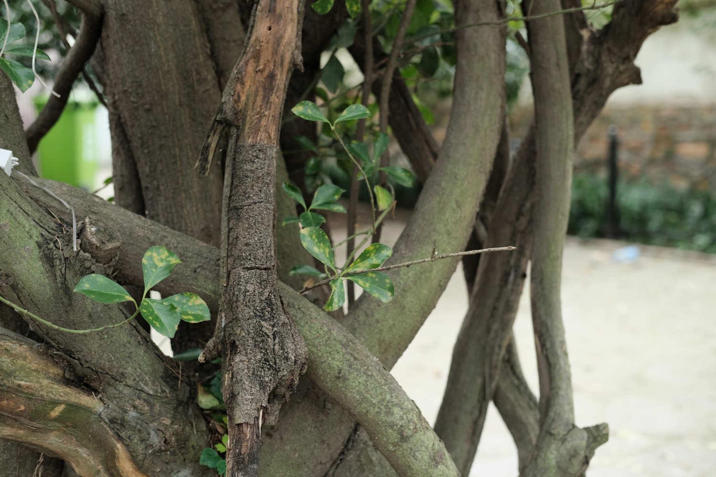 生命之树,冬青盆景