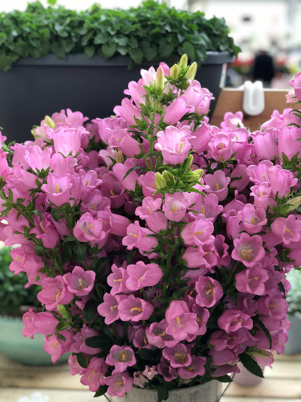 粉色风铃草