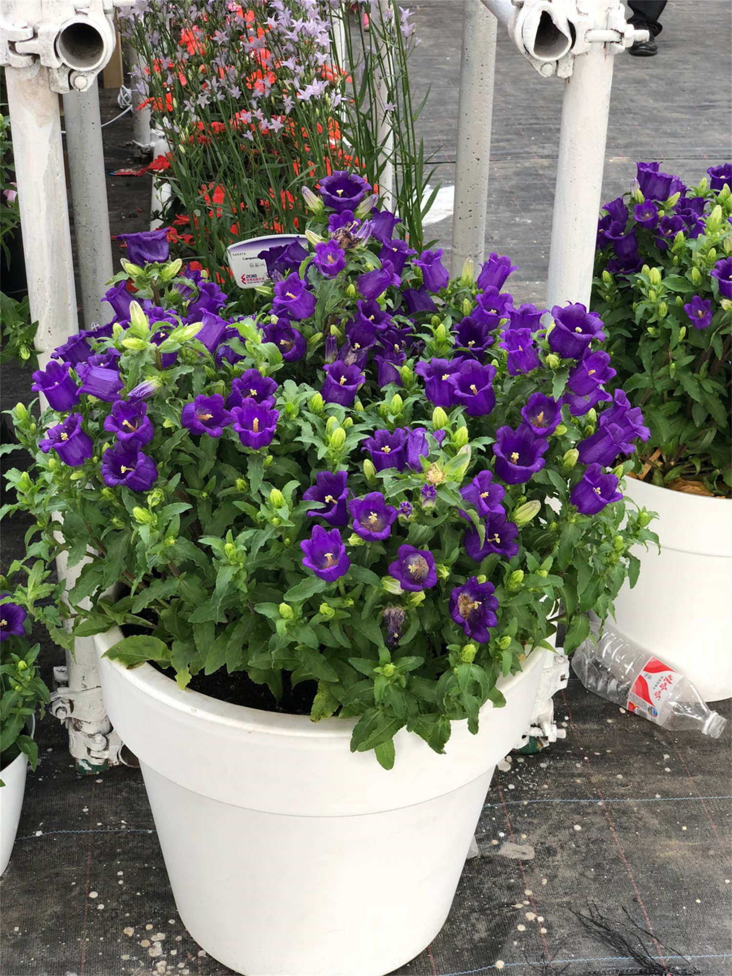 紫色风铃草