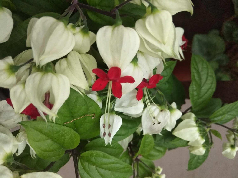 白花瓣红花冠——龙吐珠
