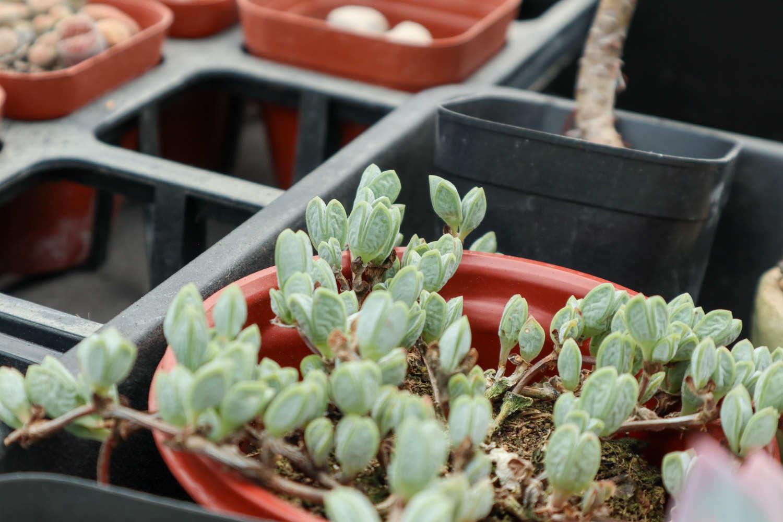 鹿角海棠图片