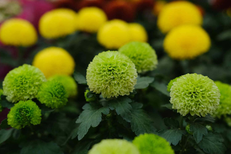 大黄色的乒乓菊
