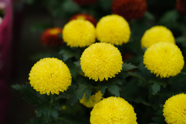 人淡如菊绝不是乒乓菊