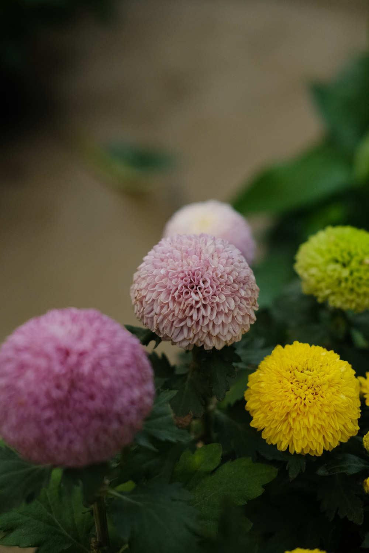 色彩丰富乒乓菊