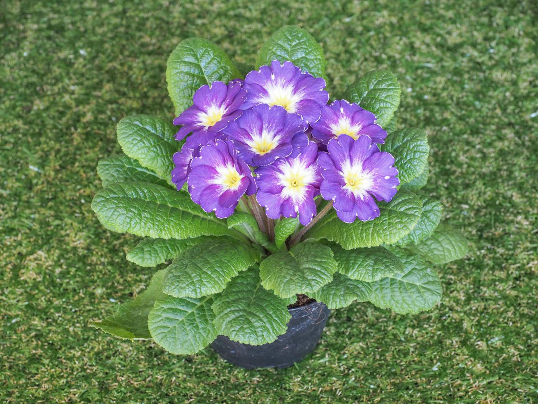 一朵报春花