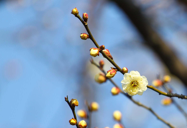 梅花韵,傲骨情——梅花盆景