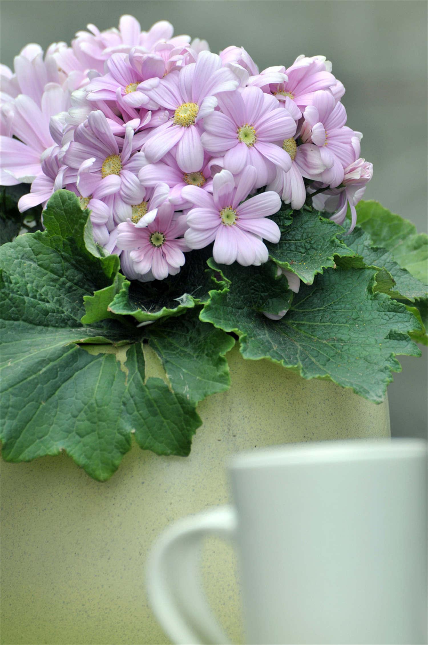 纯净的瓜叶菊