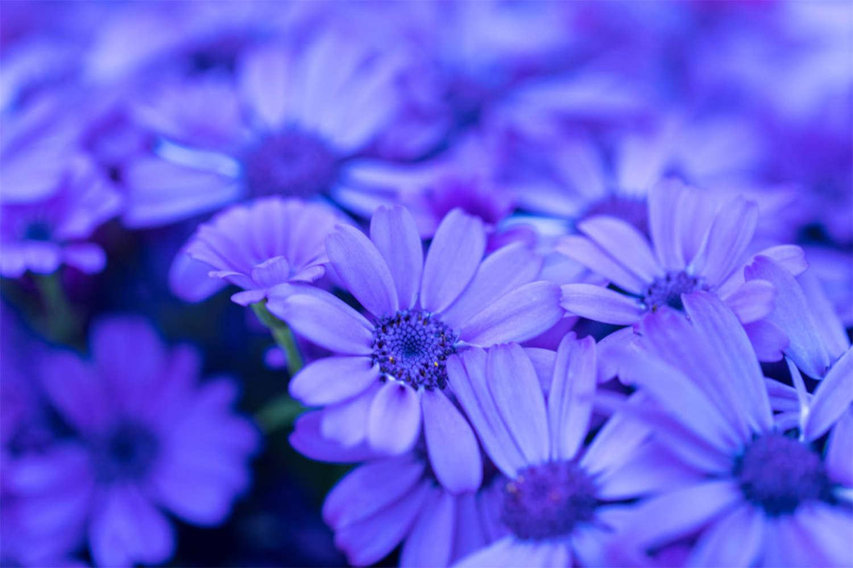 积极向上——瓜叶菊