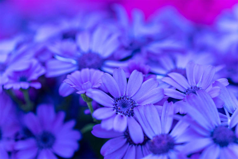 蓝色迷情——瓜叶菊