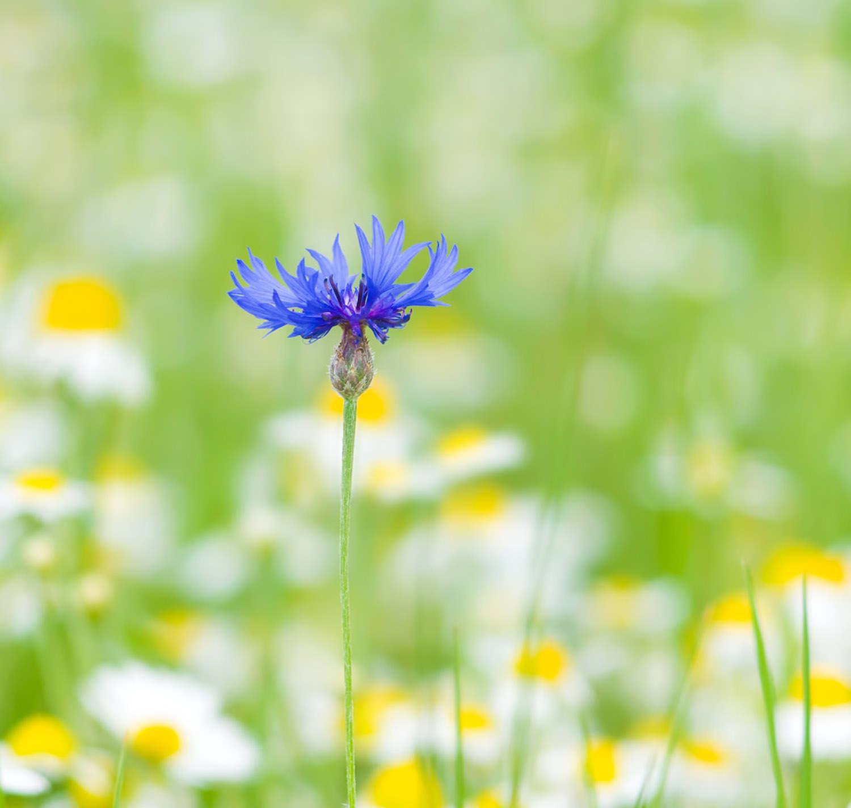 美丽的矢车菊
