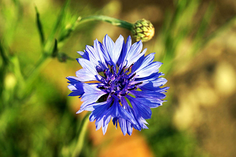 吉祥之花——蓝色矢车菊