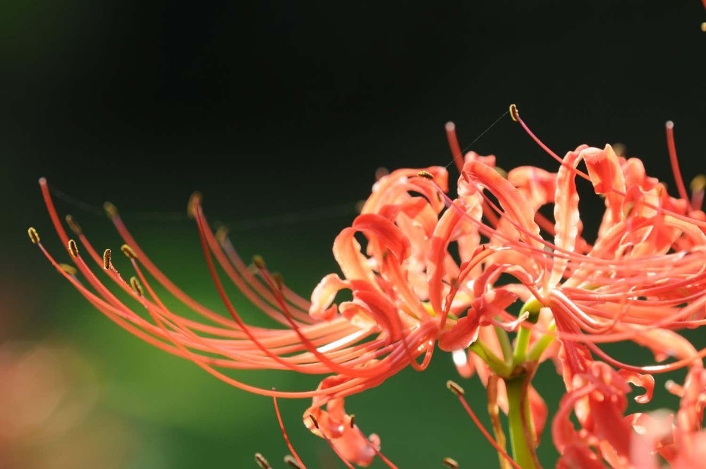 花与叶永难相见——曼珠沙华