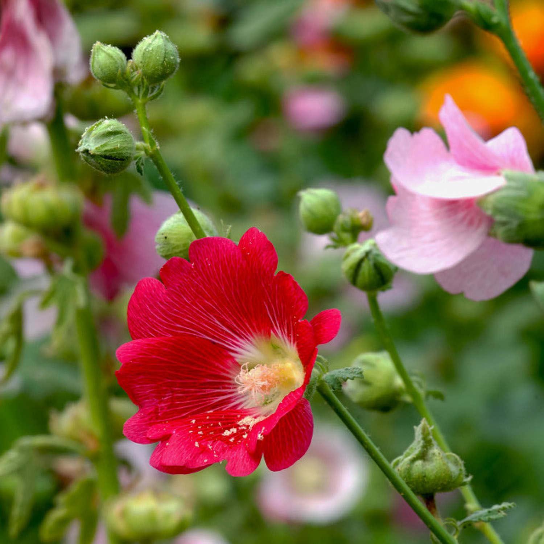 蜀葵图片欣赏