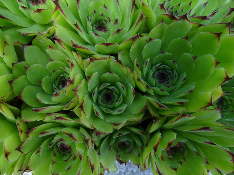 Gynura leaf