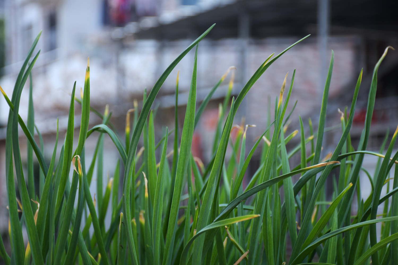 阳台种韭菜怎样浇水图片
